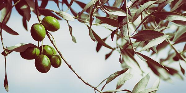 La foire de l'olivier à Montegrosso